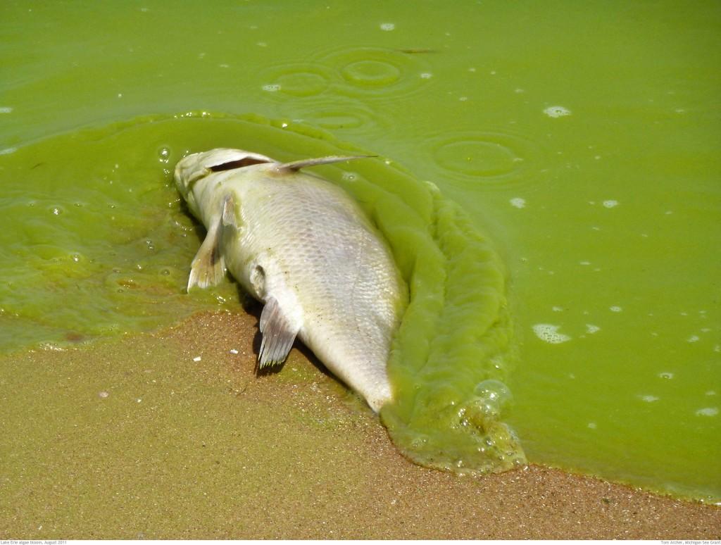Algae bloom image #3 dead fish.jpg