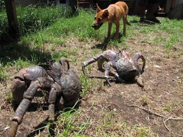 And-coconut-crabs-can-live-up-to-120-yrs-29162.jpg