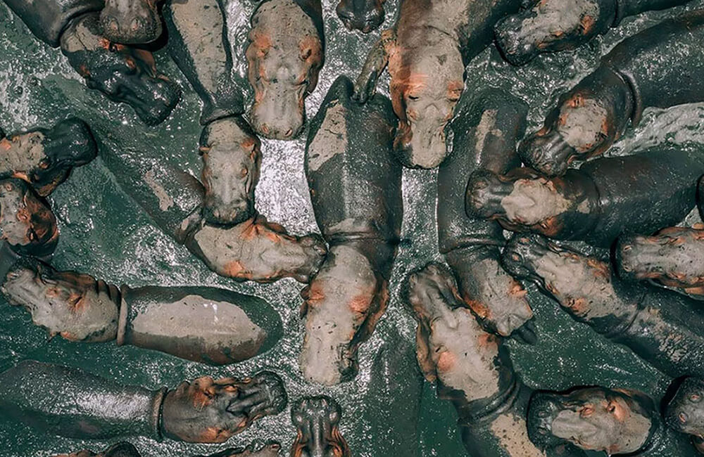 Article-Image-DronePhotos-Hippos-in-Tanzania.jpg