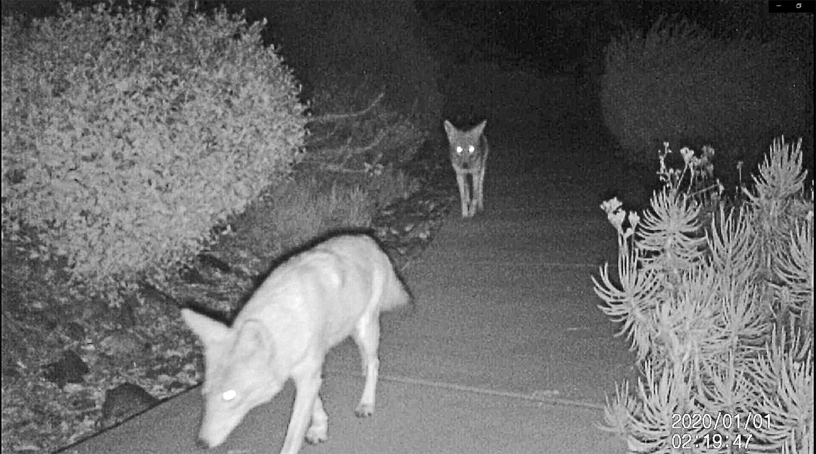 Coyote pair Jan 1st.jpg