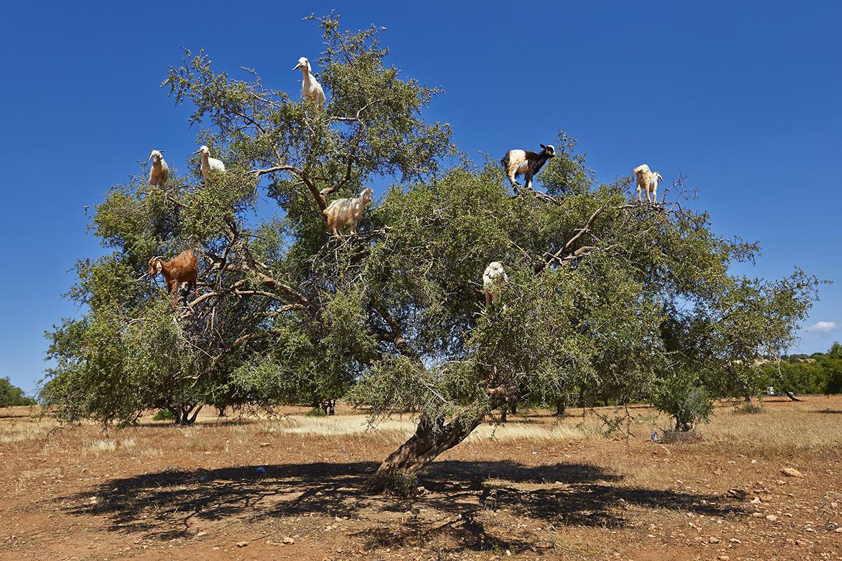 goat-tree.jpeg