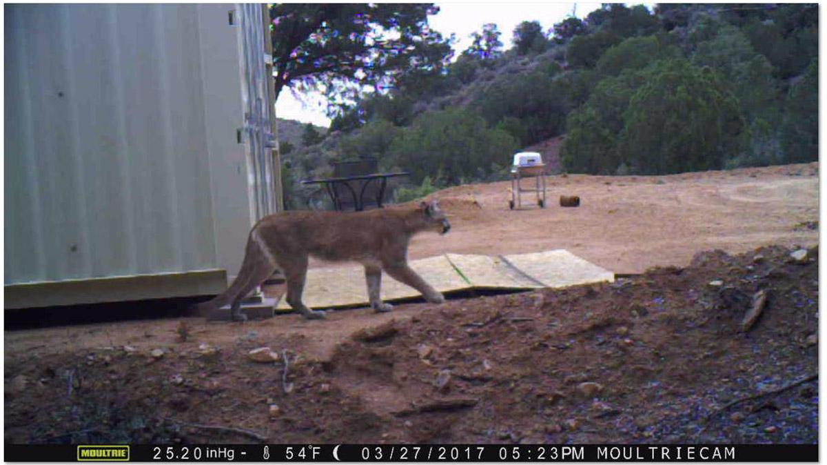 Mountain lion SVR.jpg