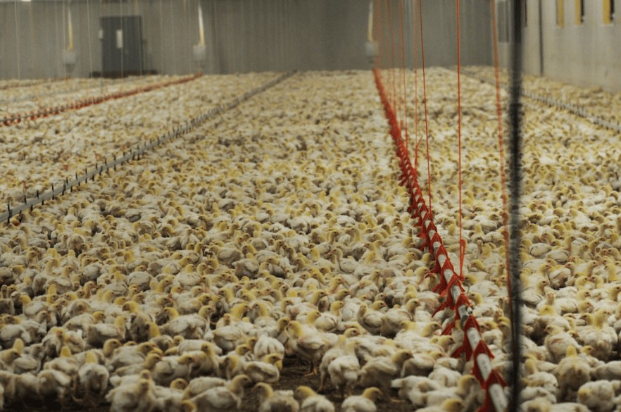 poultry-farm.jpg