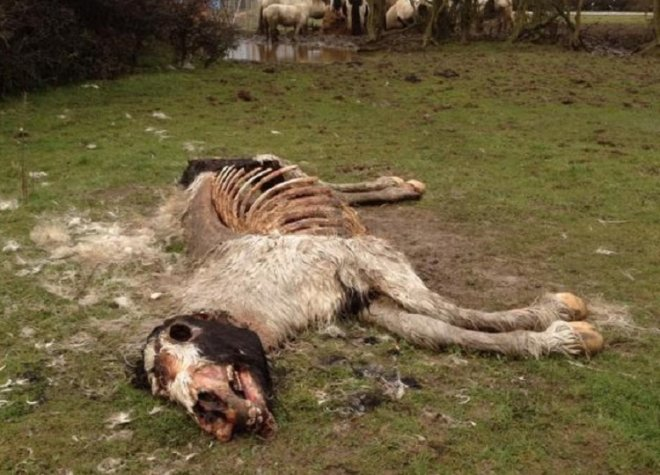 shocking-image-emaciated-horse-left-die-field-leicester.jpg